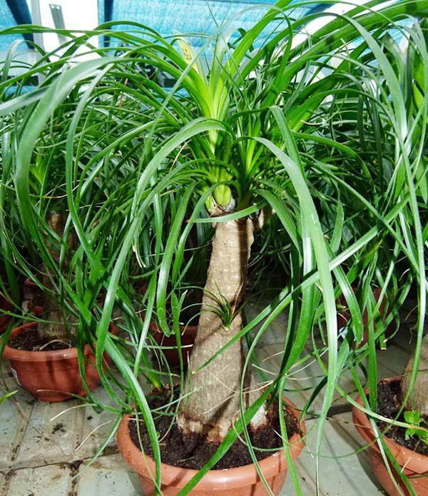 Beaucarnea recurvata plantas y cuidados pinterest for Pianta esterna