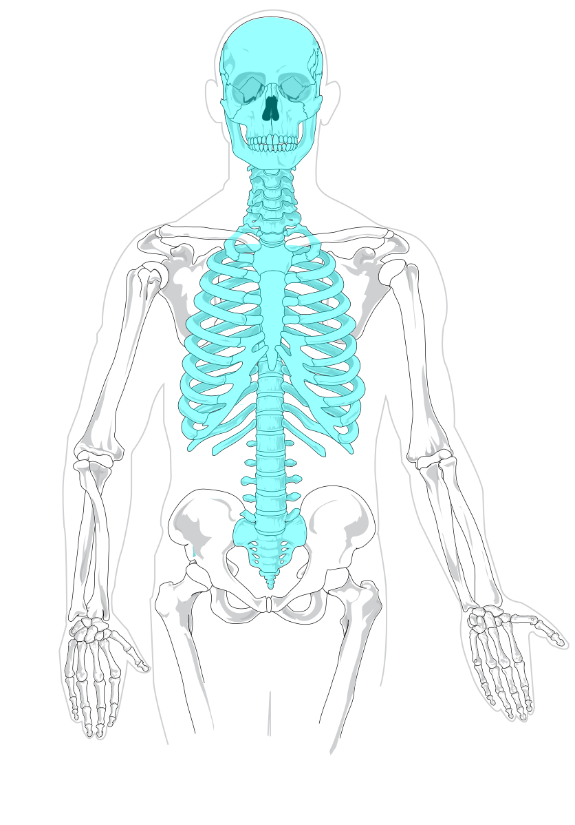 small resolution of file axial skeleton diagram blank svg