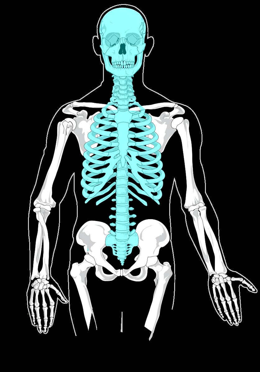 medium resolution of file axial skeleton diagram blank svg