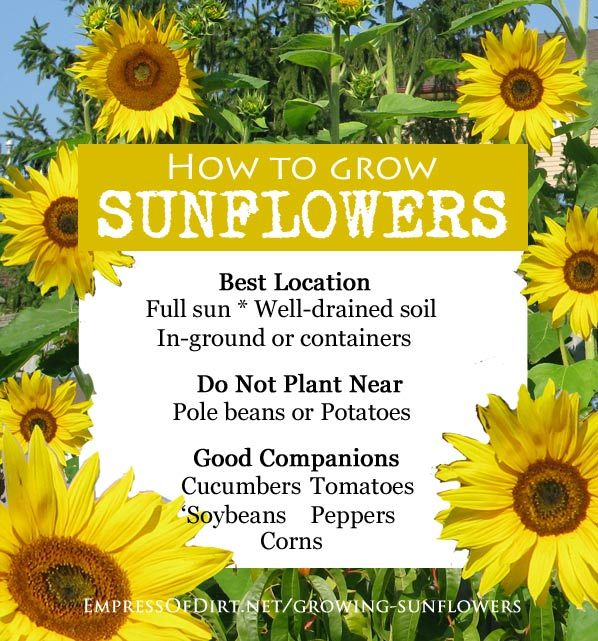 When To Plant Sunflowers And What To Avoid Diy Ideas Pinterest