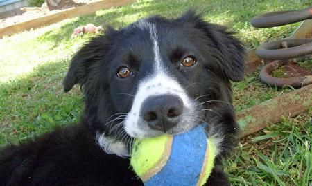 Mango the Border Collie   Border collie, Collie, Dogs and ...
