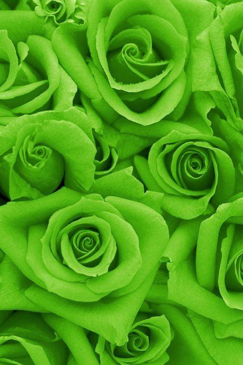21 Green Rose Ideas Green Rose Rose Beautiful Roses