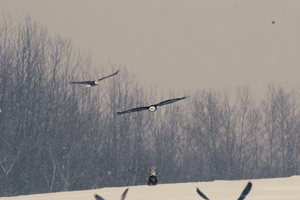 Bald eagles, Nova Scotia #nature #eagles #novascotia