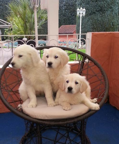 Golden Retriever Aussehen Charakter Haltung Markt De Welpen Retriever Welpen Hunde Welpen