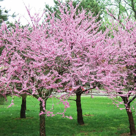 19 Of The Earliest Blooms To Look For In Spring Flowering Trees Early Spring Flowers Redbud Tree