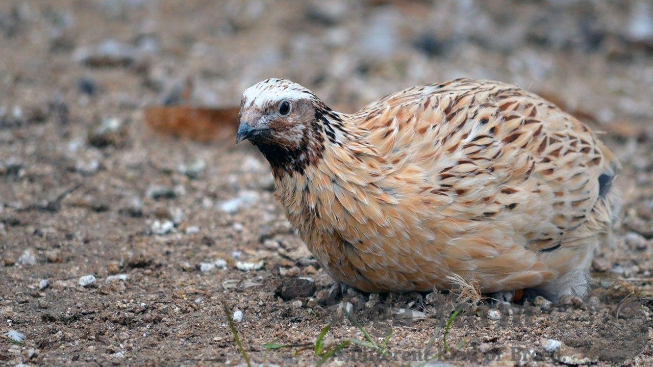 how to raise quail for eggs