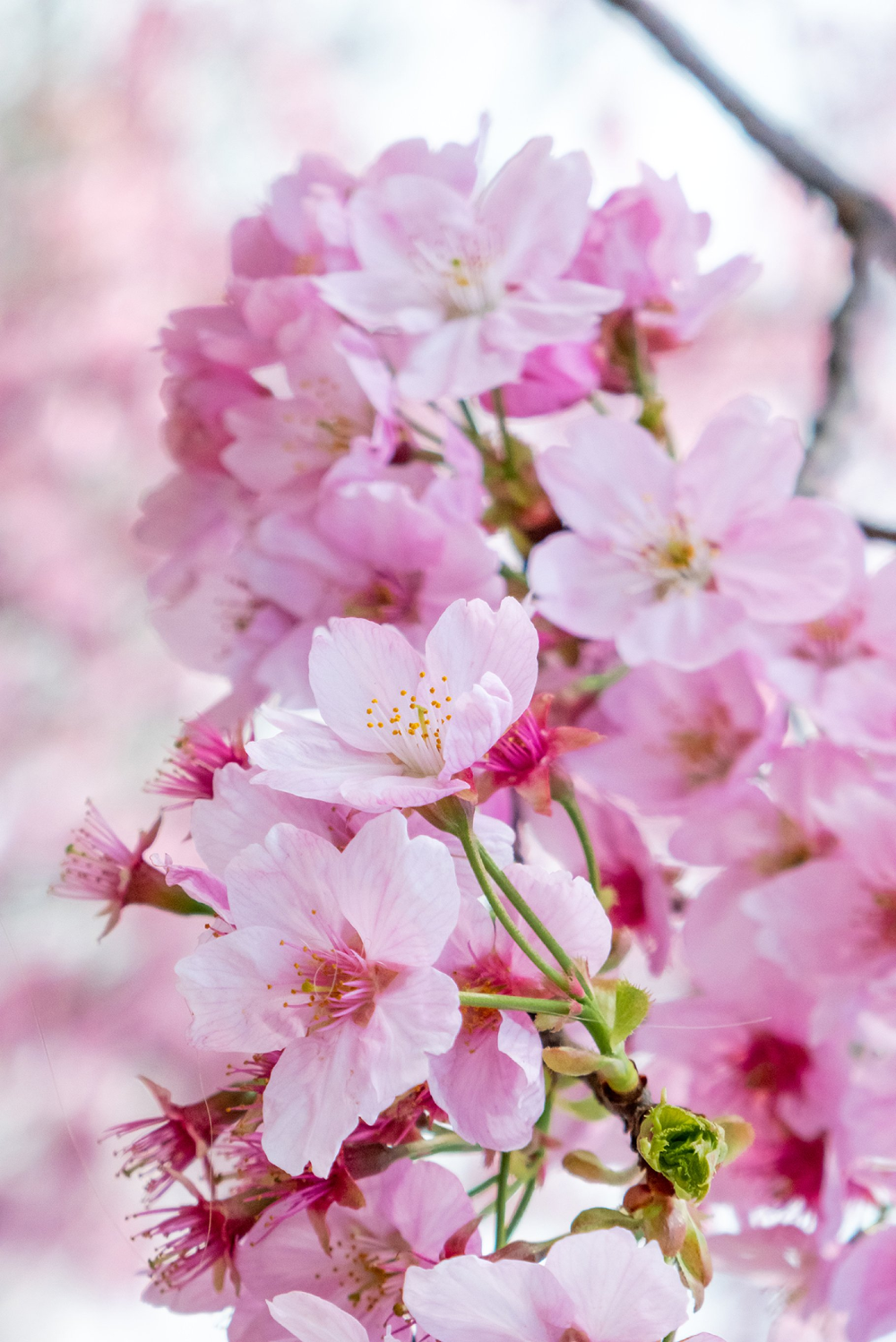 22 Different Types Of Cherry Blossoms And Interesting Facts Types Of Cherries Cherry Blossom Tree Blossom Trees