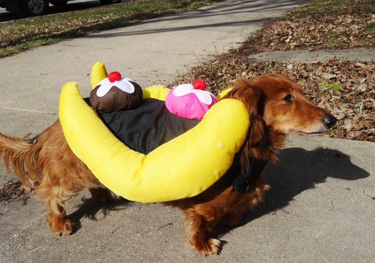 Dachshund Dazzles As Therapy Dog With Flair Dog News Therapy