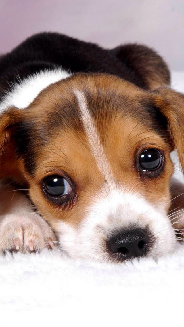 Pin By Claire On Animals Cute Beagles Beagle Puppy Cute Dogs