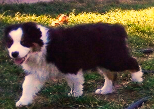 Australian Shepherd Puppies For Sale In Texas Check Out Our