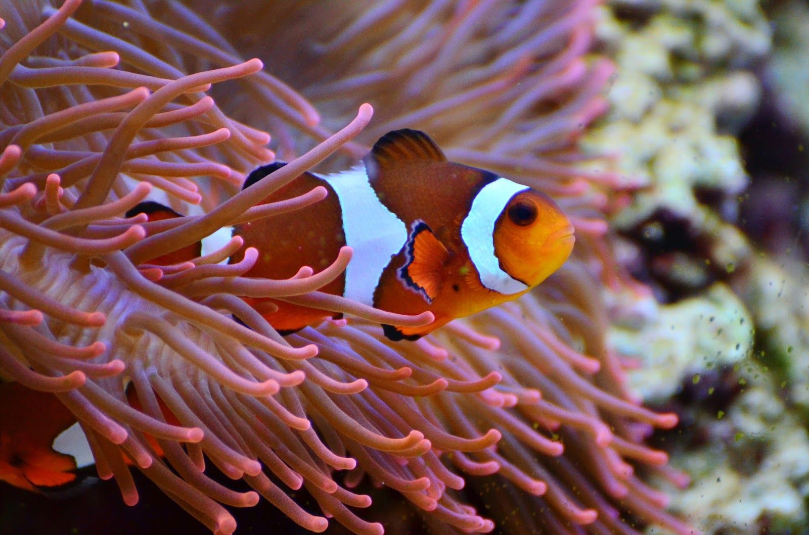Why the poisonous anemone does not sting the clownfish? | Fish Facts ...