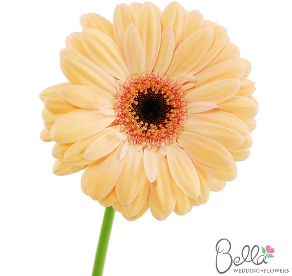 Light Peach Gerbera Daisies Are Fresh Fun And Cheerful Wedding Flowers Did You Know That Gerbera Daisies Are The Gerbera Daisy Peach Wedding Flowers Gerbera