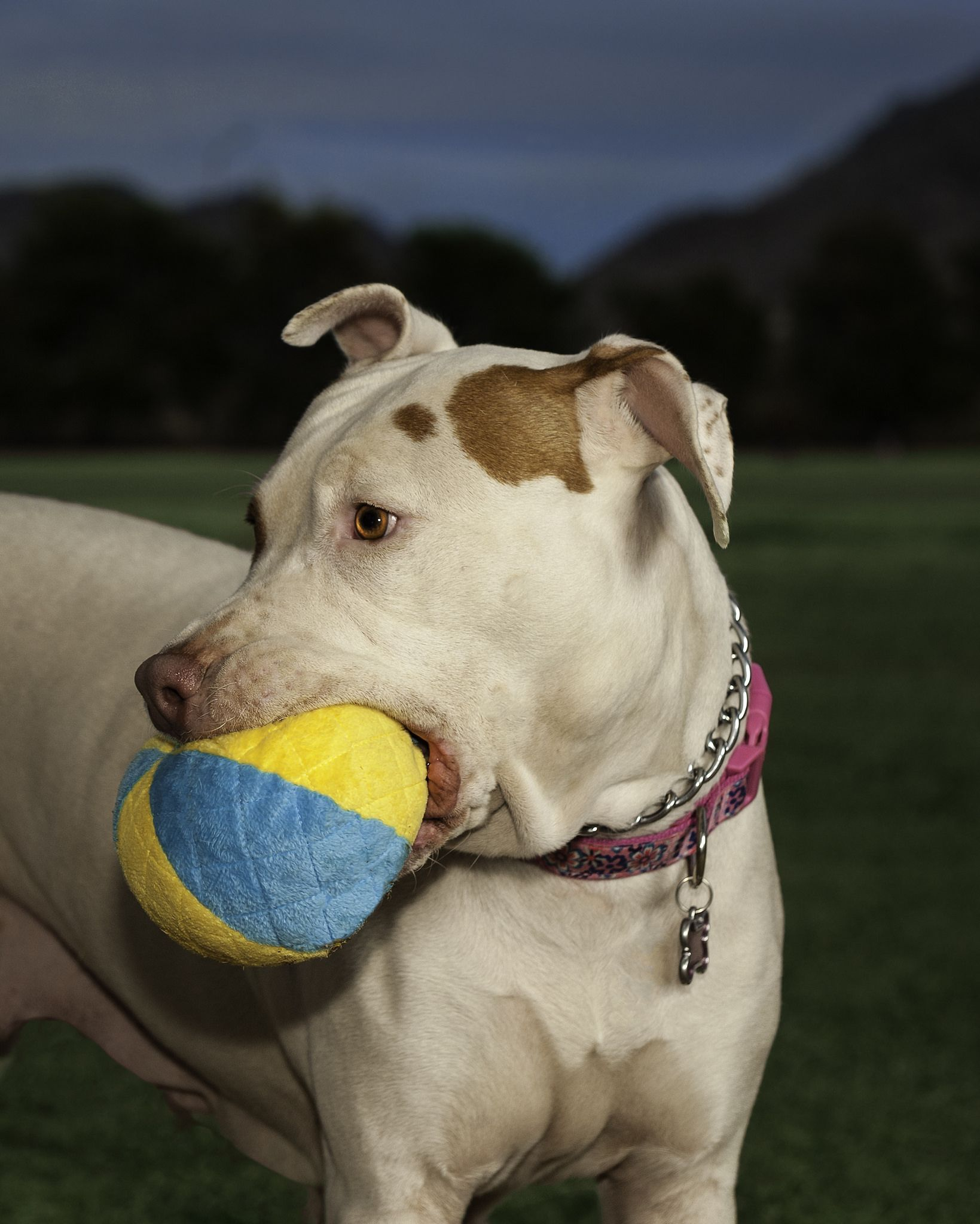 3253 Dolly Pitbulls Dogs Pitbull Toys