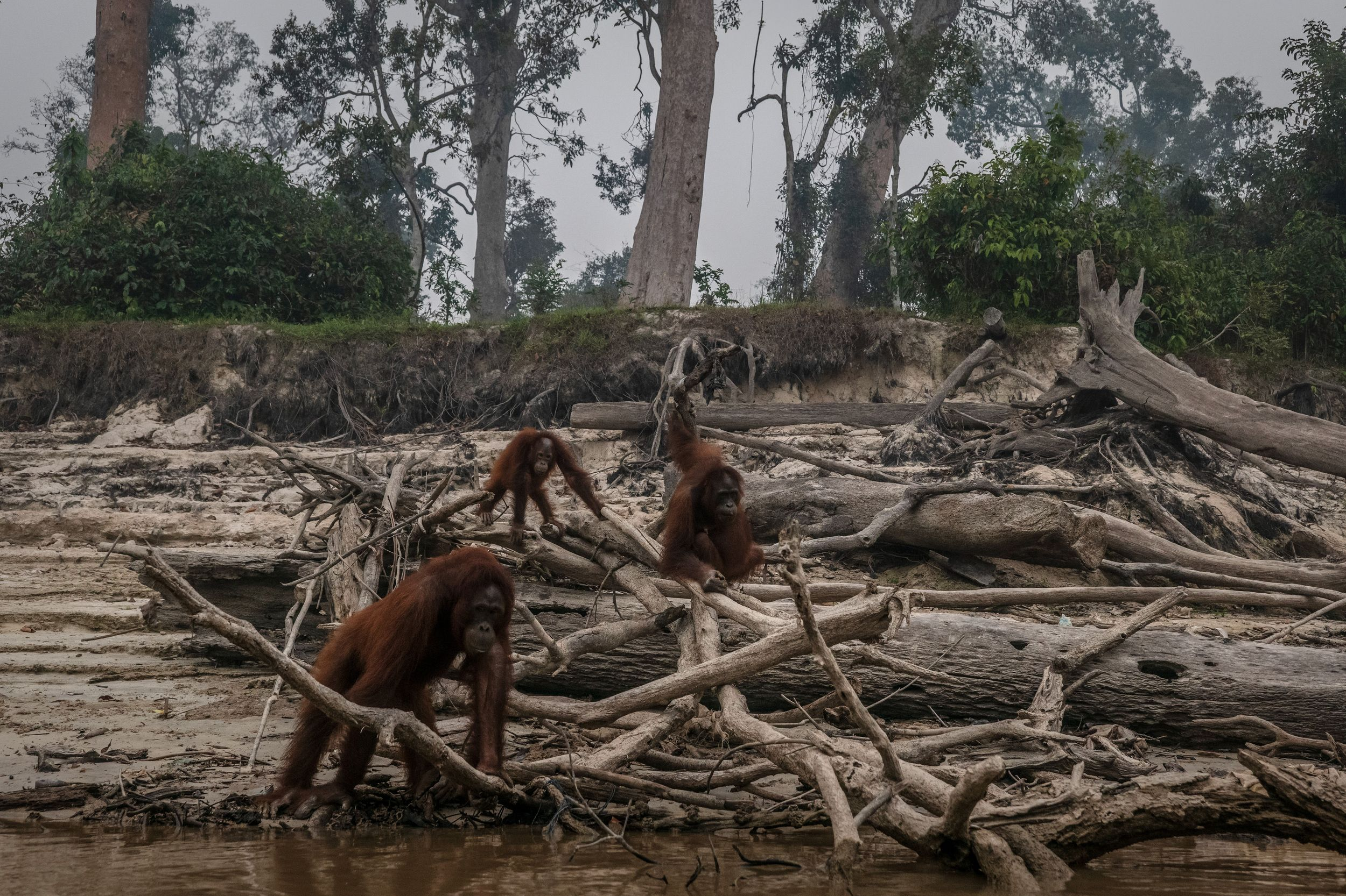 Tragic photos show orangutans roaming charred forest after