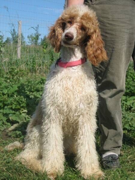 Standard Parti Poodle Puppies Girls In Beautiful Red White