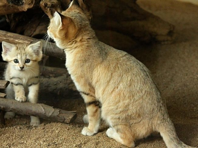 Penampakan Kucing Langka Padang Pasir (Sand Cat) Yang Imut Nan Elok
