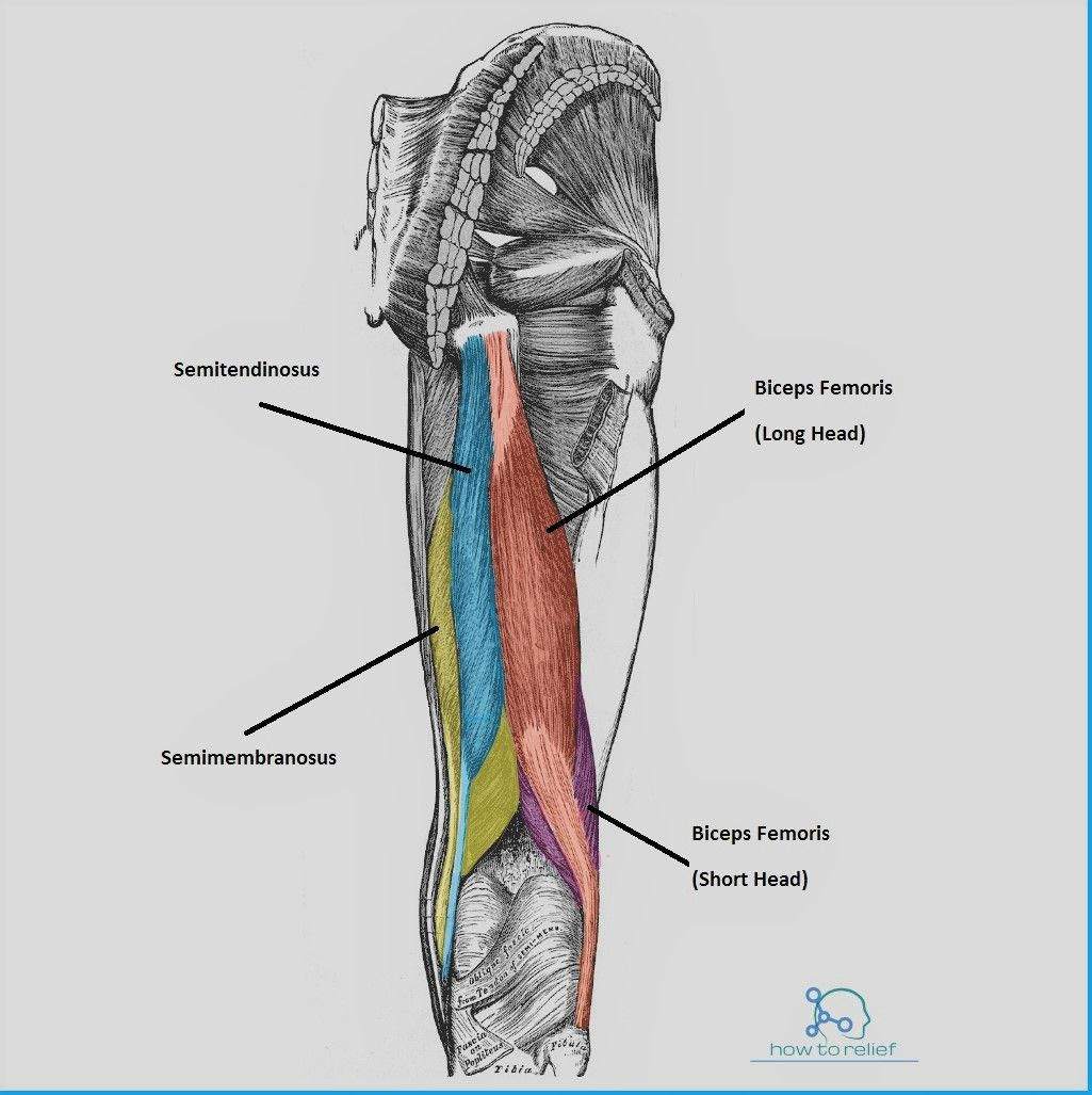 Semimembranosus: Origin, Insertion, Action & Nerve Supply | Anatomy ...