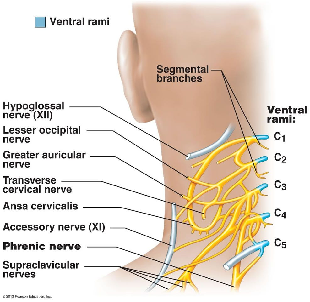Sensory branches of the cervical plexus, cutaneous branches supply ...