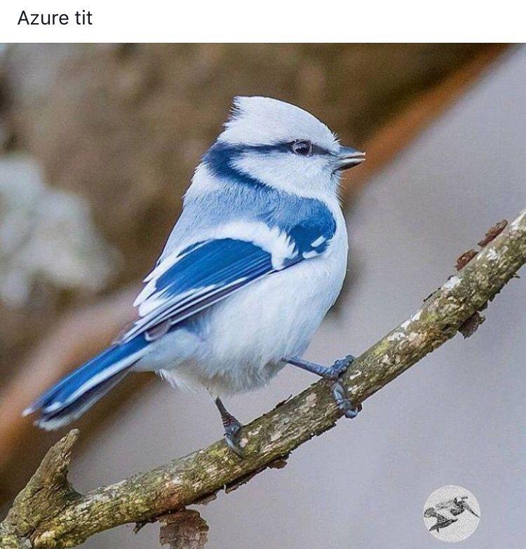 Azure tit
