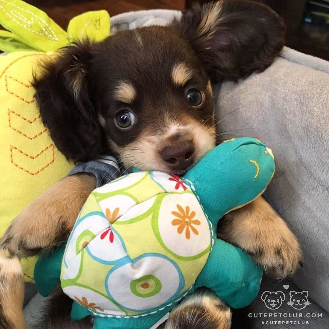 "From @Chucktaylor_dachshund: ""This is little Ollie."" #cutepetclub by: @cutepetclub"