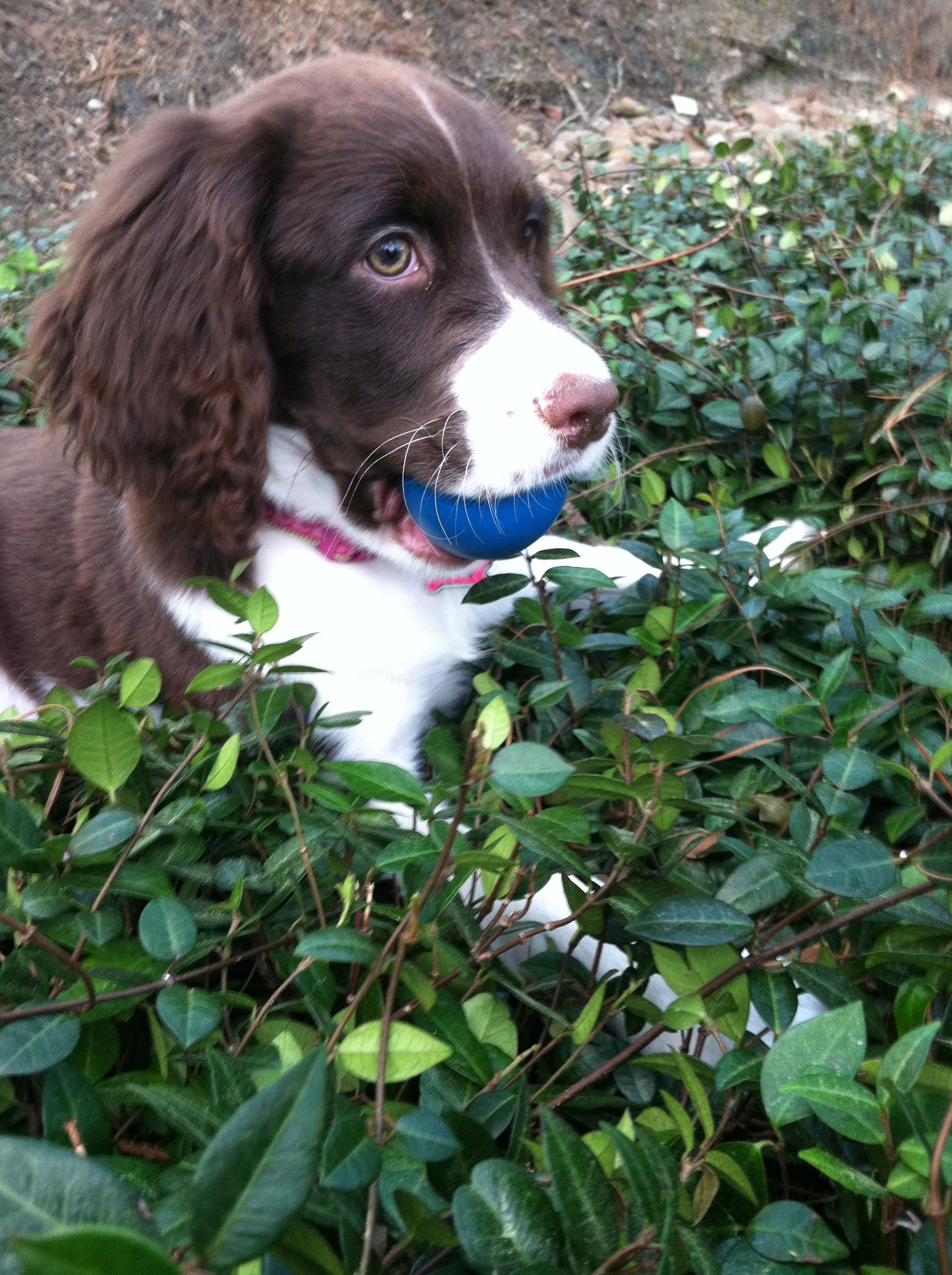English Springer Spaniel Bailey Belle With Her Ball Springer Puppies Springer Spaniel Puppies Spaniel Puppies