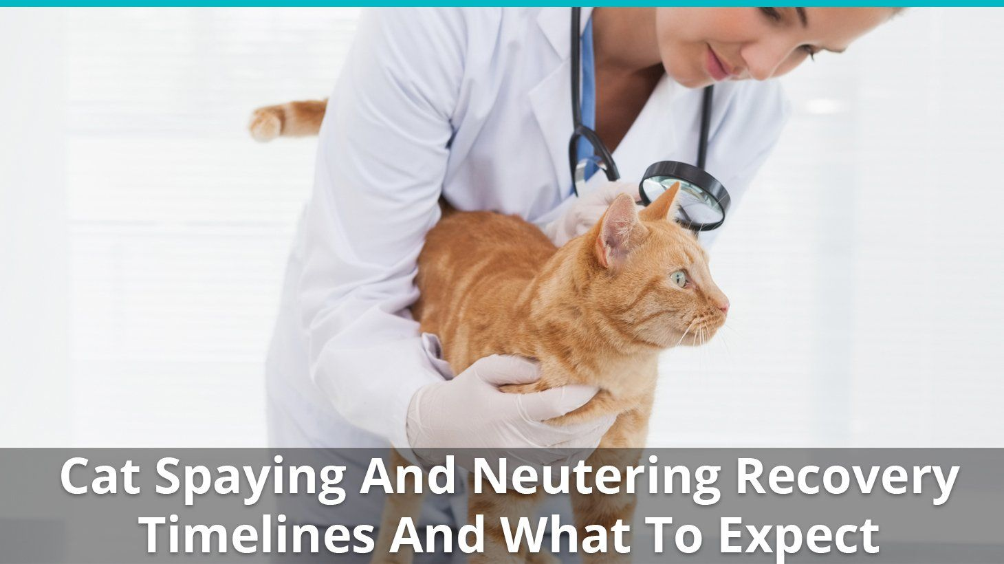 Cat Spaying And Neutering Recovery Timelines And What To Expect Cat Neutering Cats Pet Clinic
