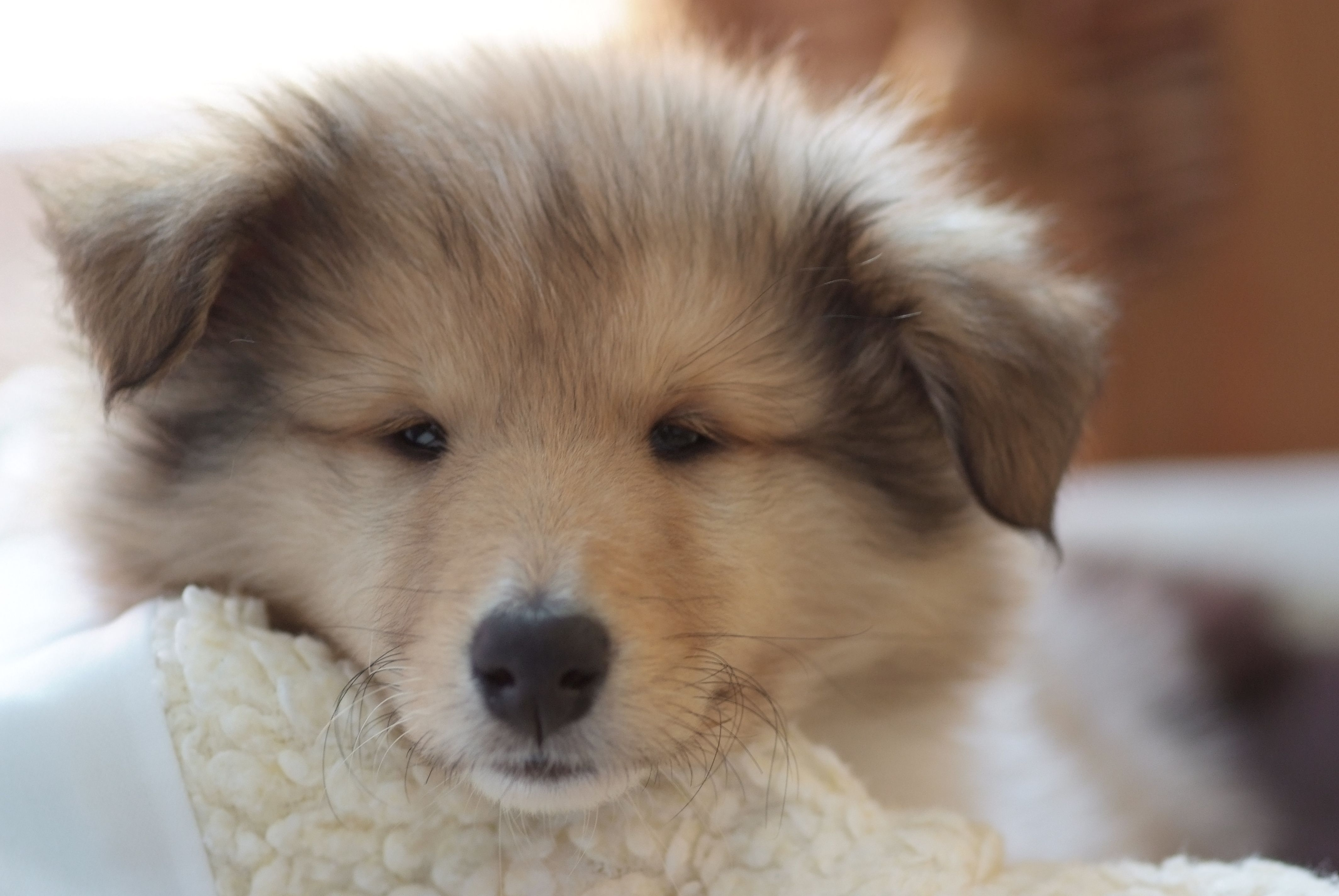Rough Collie Puppy Poppy Rough Collie Baby Dogs Collie