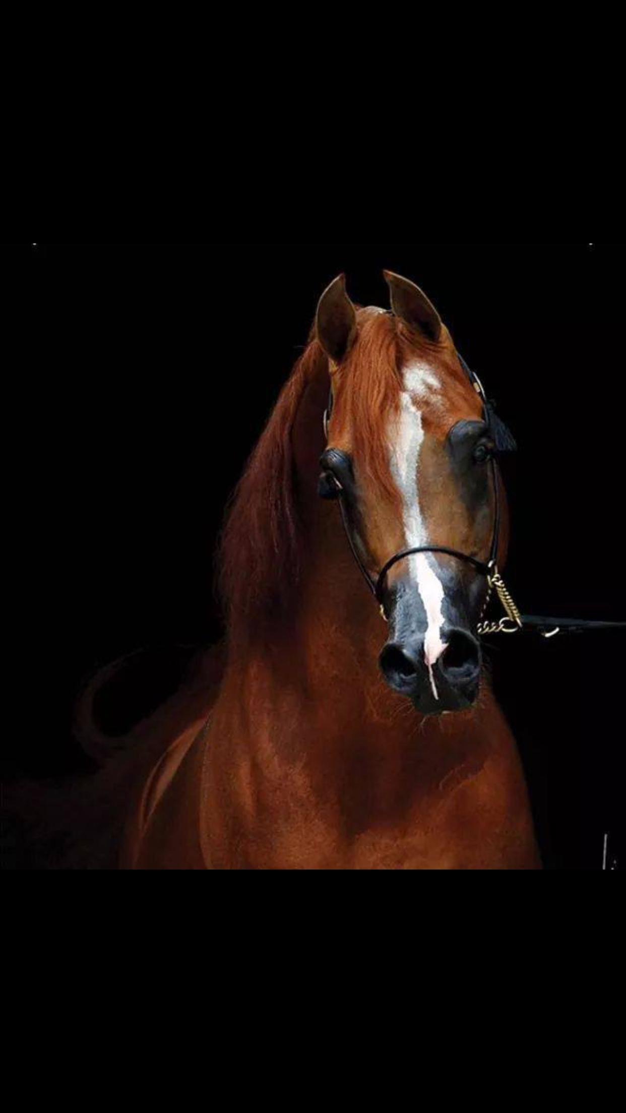 Eden C Beautiful Horses Arabian Horse Horses