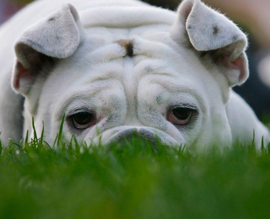 Animal Of The Day Cute Animals Bulldog Bulldog Puppies