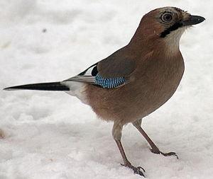Garrulus Wikipedia La Enciclopedia Libre Arrendajo Aves Viejitos