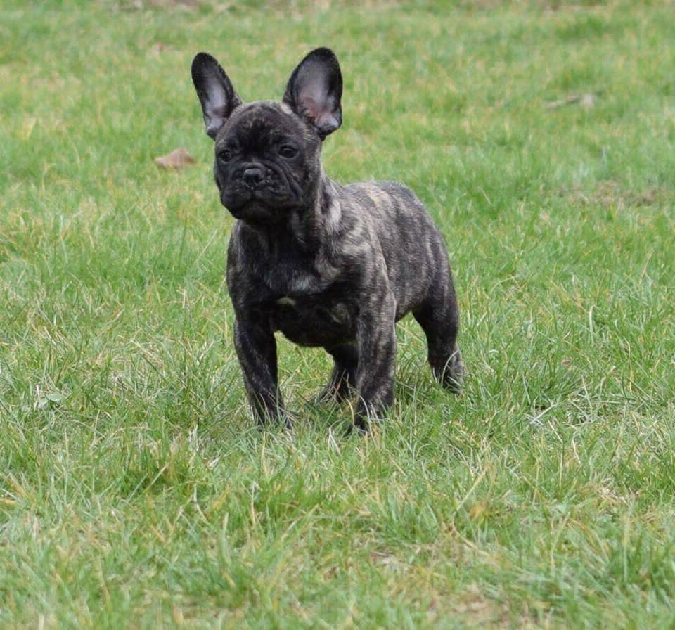 Get The Best And Akc Certified French Bulldog Puppies For Sale