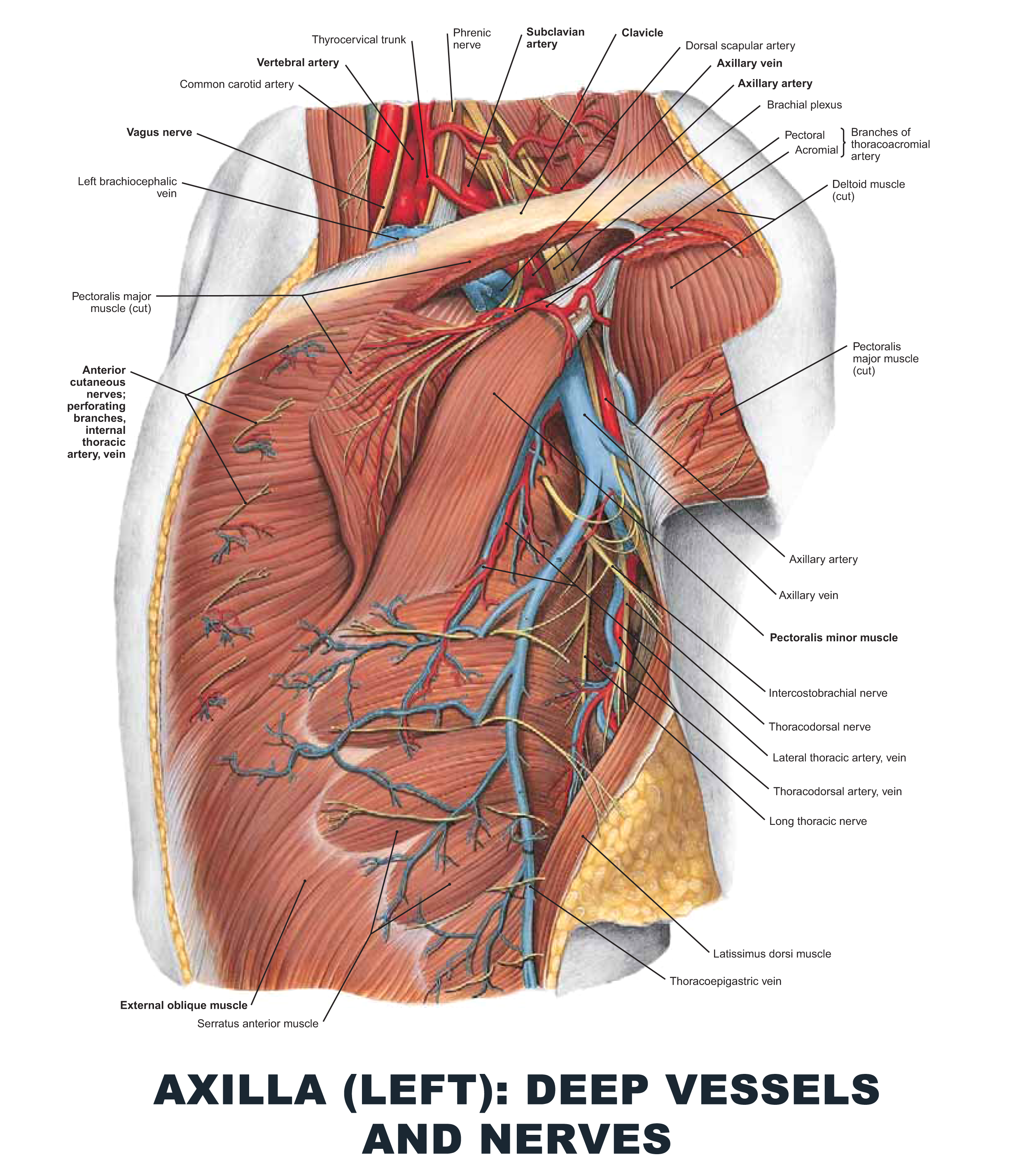Axilla (Left): Deep Vessels and Nerves - #anatomy images ...