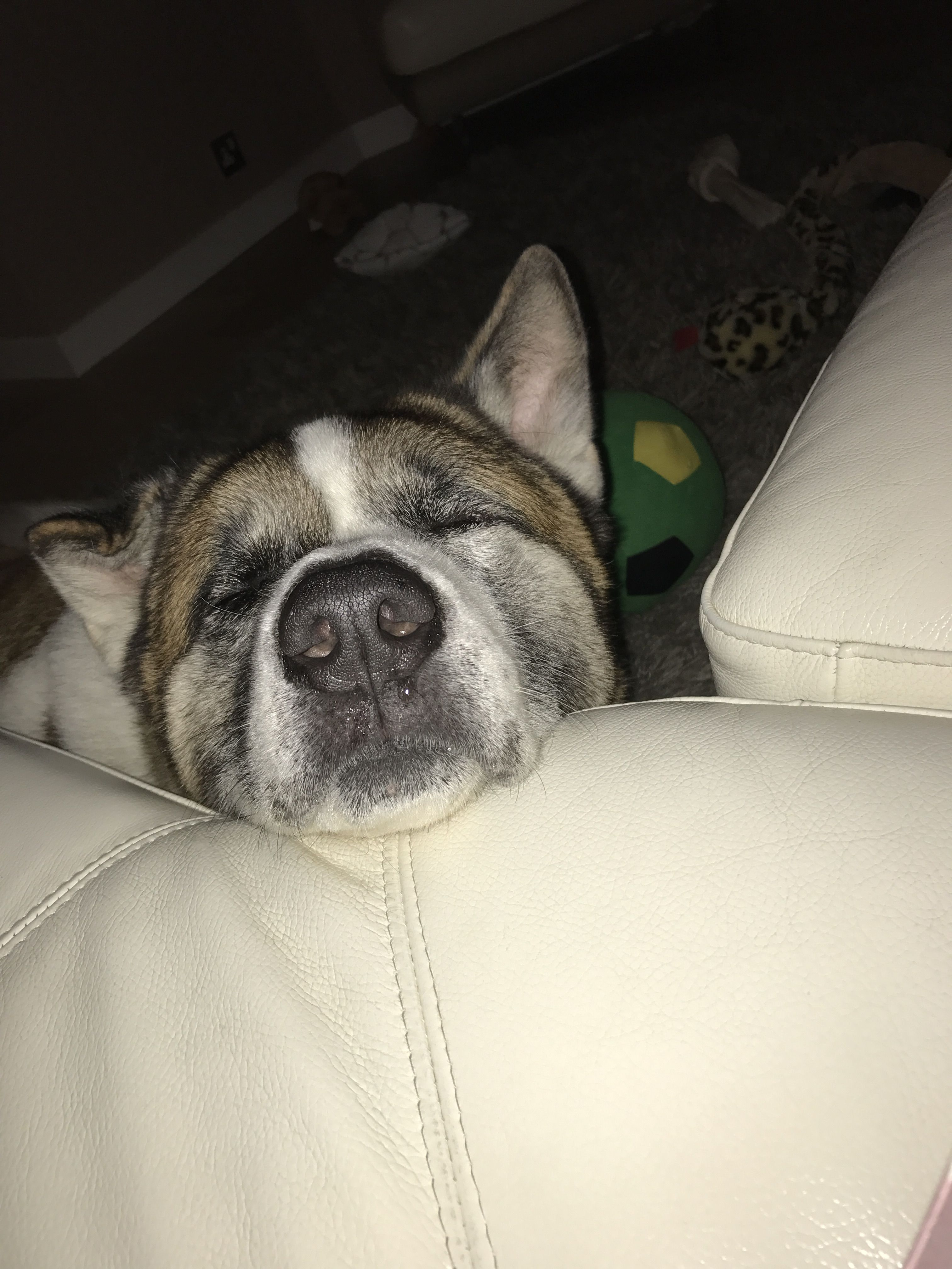 Sleepy Cute Akita Bear
