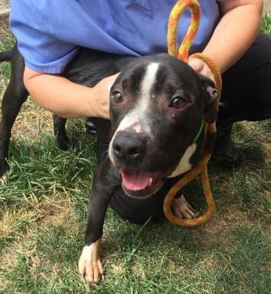 Eddy Man Pets Pitbull Terrier Bull Terrier Mix