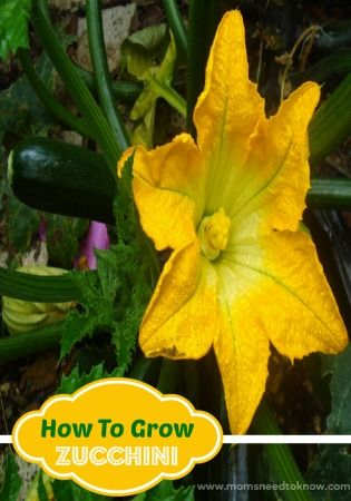 How To Grow Zucchini Growing Zucchini Easy Vegetables To Grow Herbs