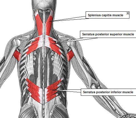 Pop-Anatomy - ADAM MUSCLES 2 | anatomy | Pinterest | Anatomía ...