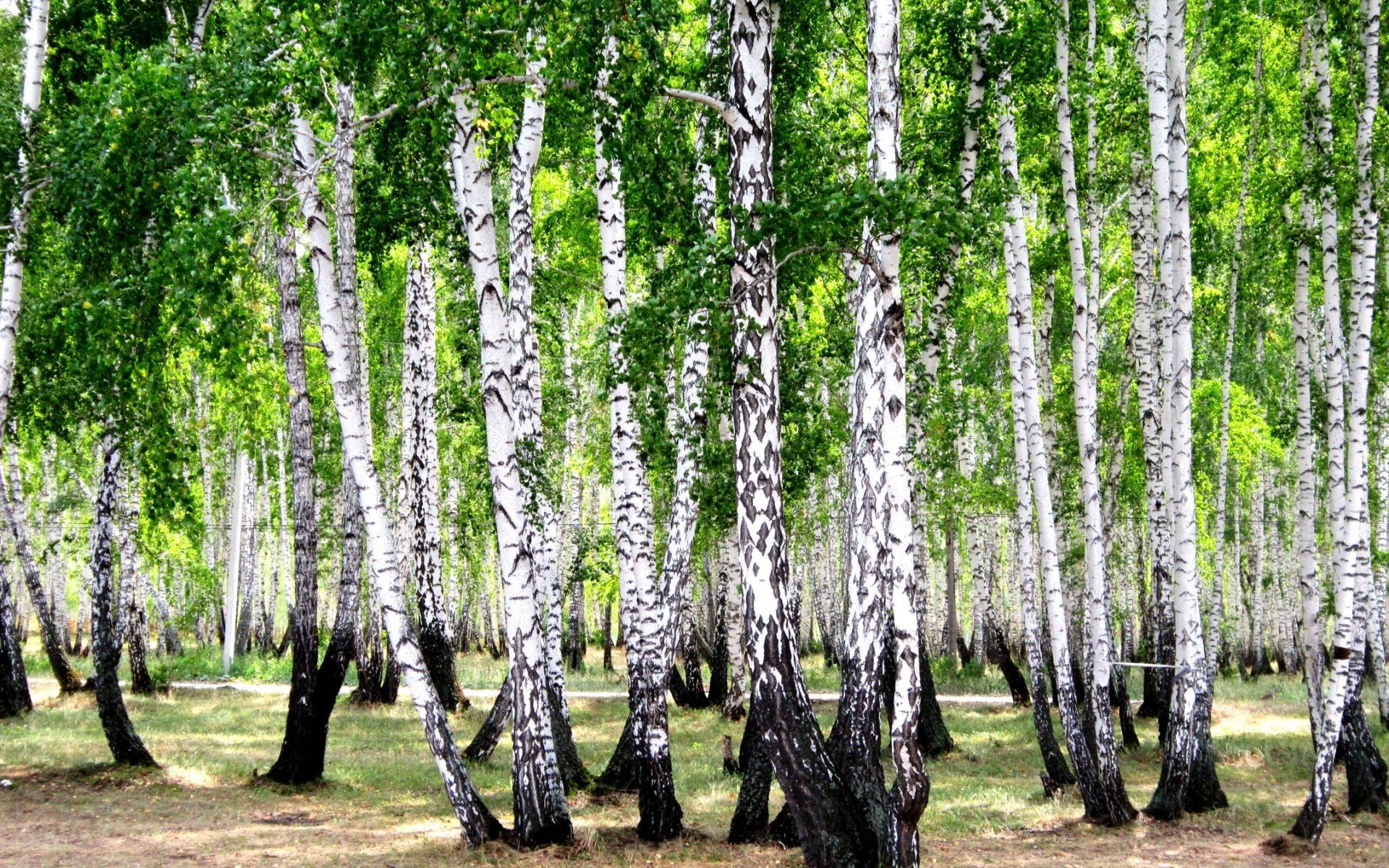 Картинки по запросу картинки русские березки лес поле ...