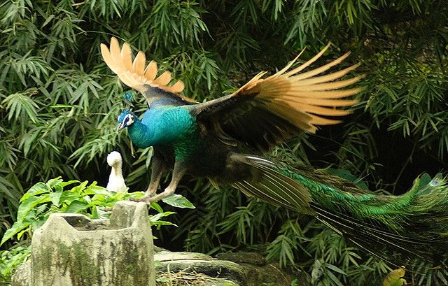 A peacock about to take flight/landing? aIMG_4460 by lordmint, via Flickr