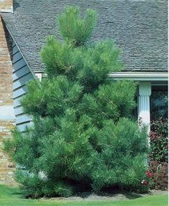 evergreen tree with long needles | Turfsavers Tree Farm Evergreen Trees for Sale - Turfsavers Tree Farm ...