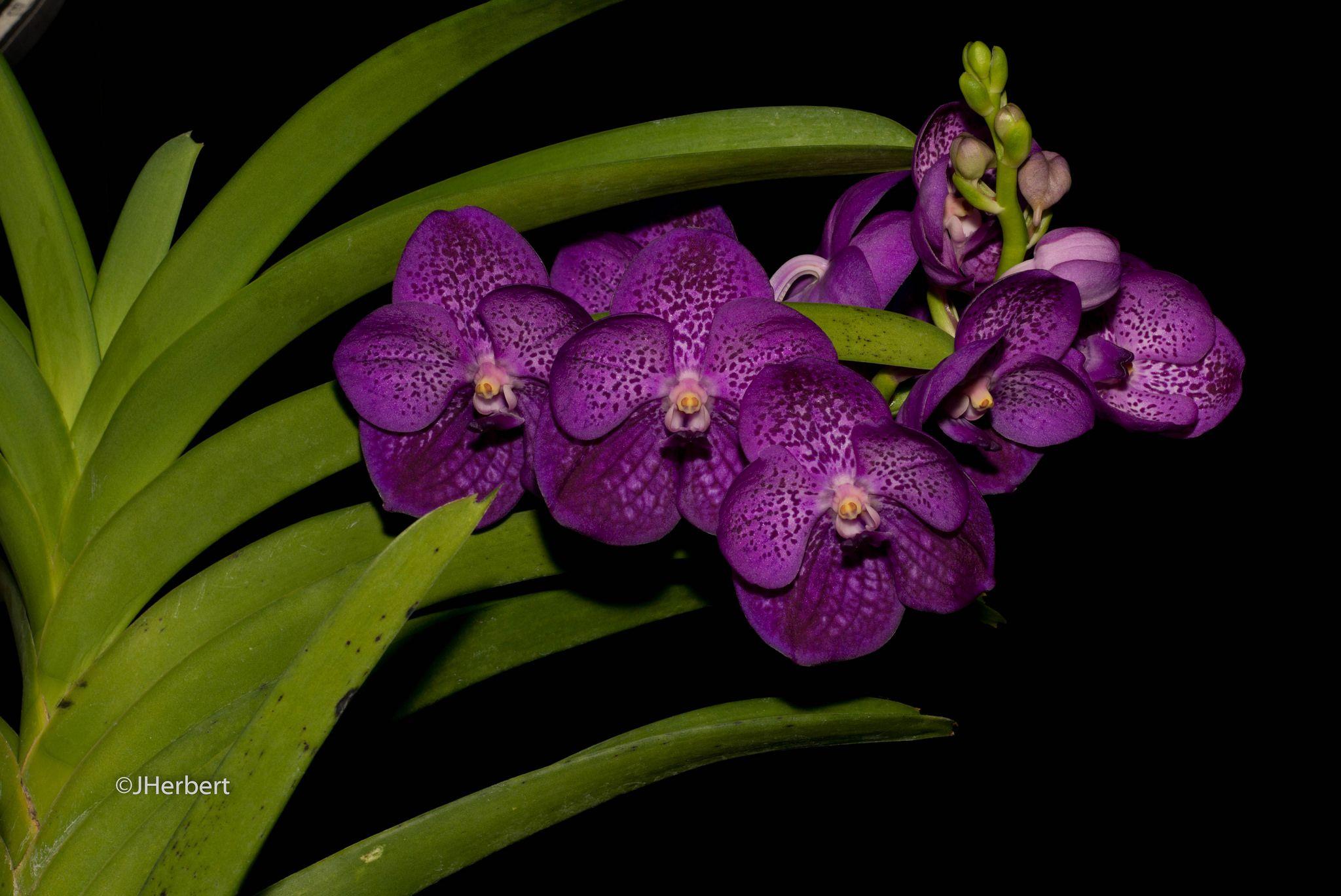 Vanda John De Biase 'Fuchs Indigo' | by orchid dude