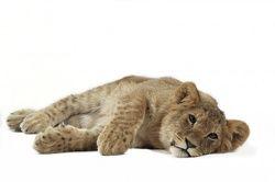 Big Cats c/o Ardea - wildlife pets environment