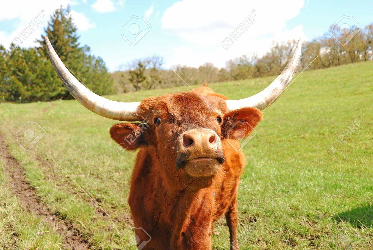 Texas Longhorn Cattle In A Field Stock Photo, Picture And Royalty ...
