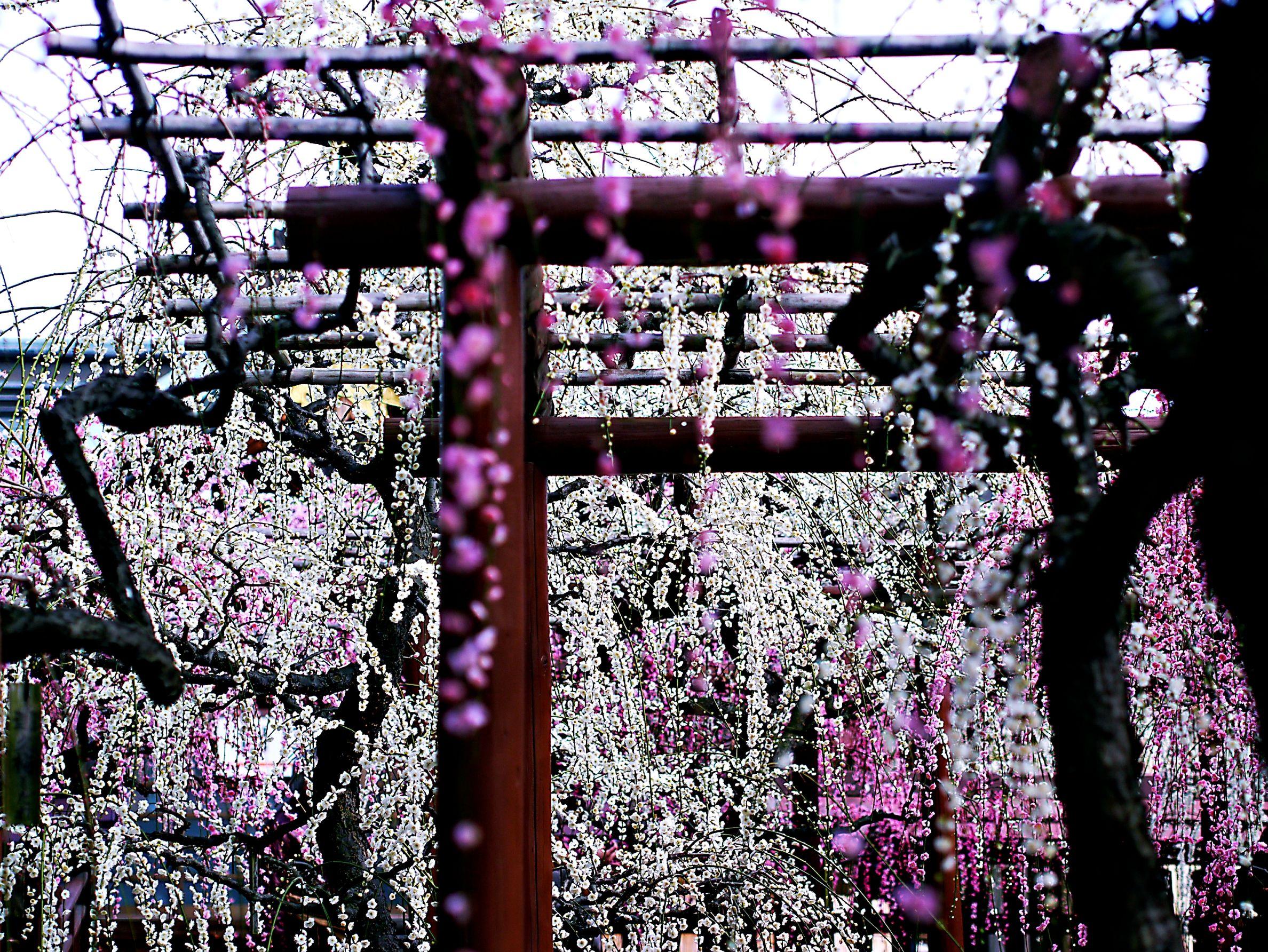 想いの数はもっともっと。  #japan  #mie  #aozoranoiro  #yuukijinja  #shidareume  #GX  #45mm