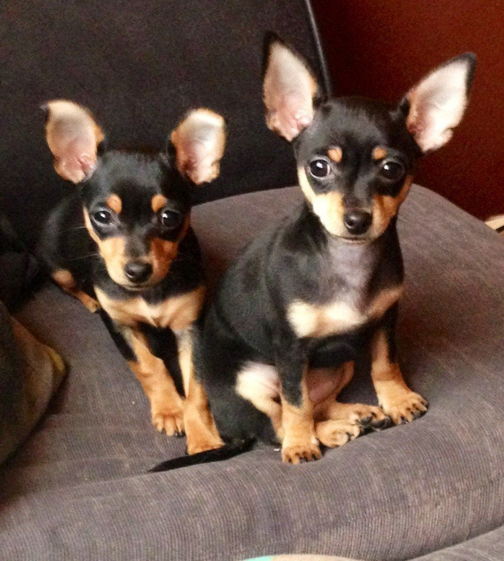 Image Result For Black Tan Chihuahua Vs Min Pin Cute Chihuahua