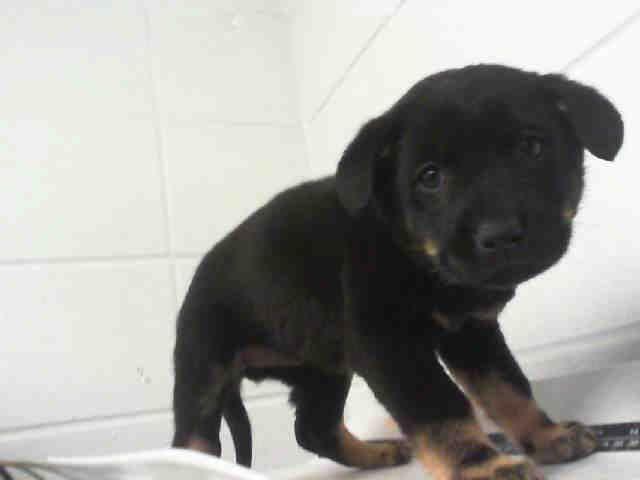 Zanaida Rottweiler Labrador Retriever Mix Baby Female Small City Of Houston Barc Animal Shelter A Animal Shelter Adoption Rottweiler Puppies Animals