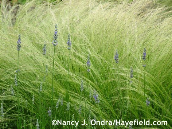 'Provence' lavender (Lavandula x intermedia) with Mexican feather grass (Stipa tenuissima) at Hayefield.com