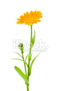 calendula marigold flowers with leaves isolated on white october birth flowers birth flower. Black Bedroom Furniture Sets. Home Design Ideas