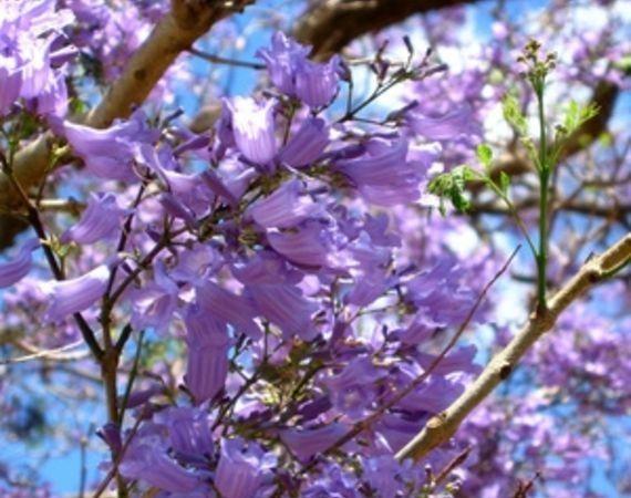 Spring Purple Flowering Trees Purple Flowering Tree Flowering