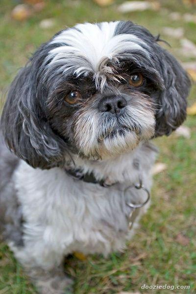 Lost Dog Shih Tzu Hamilton On Canada Lost And Found Pets
