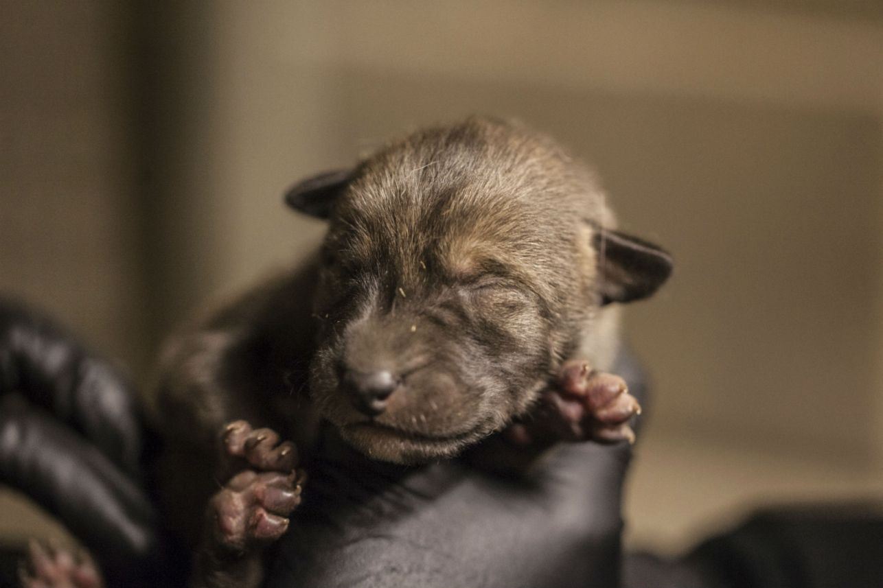Critically endangered red wolf pups born at Chicago zoo
